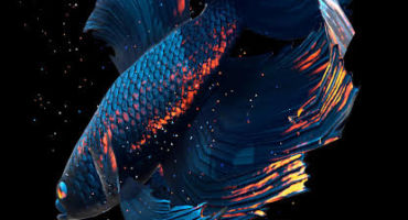 [Live Wallpaper] Betta Fish অসাধারণ এক লাইভ ওয়েলপেপার আপনার ফোনের জন্য।[19MB]